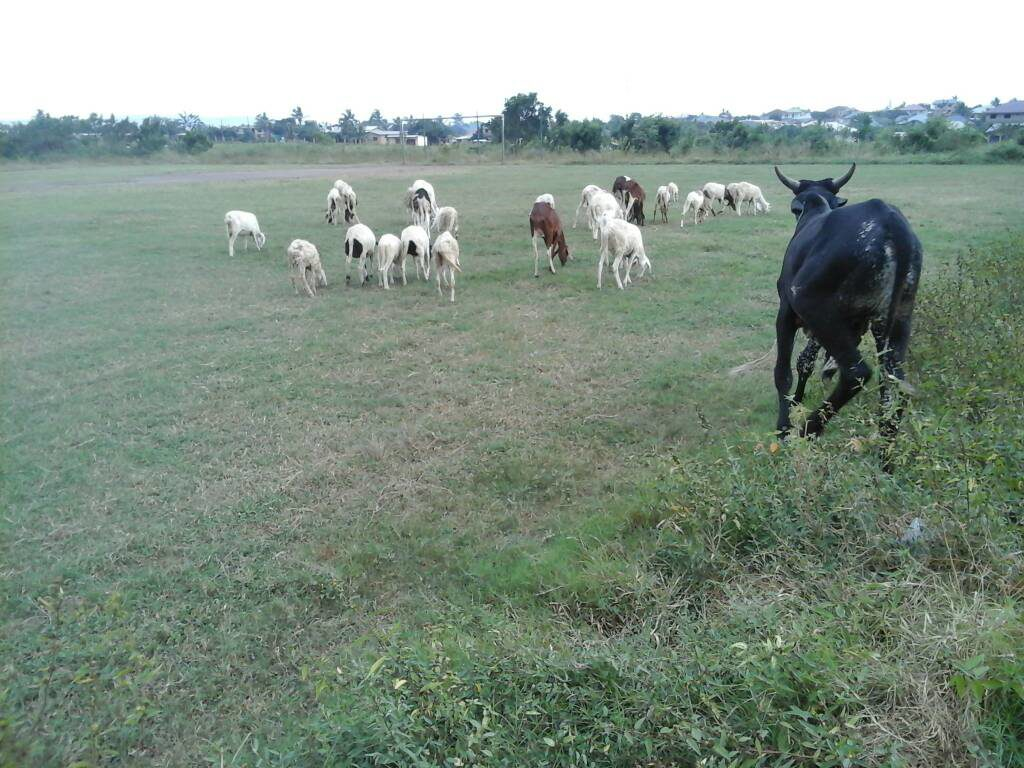 Sheep and cattle graze freely on Hearts of Oak's Pobiman hopeless training project
